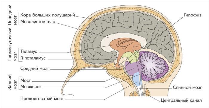 Где находится мозжечок