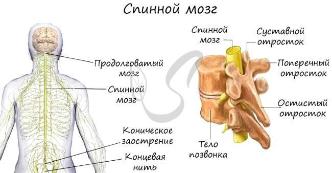 Где расположен спинной мозг