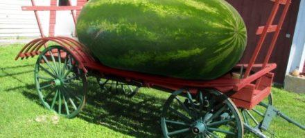 Самый большой в мире арбуз