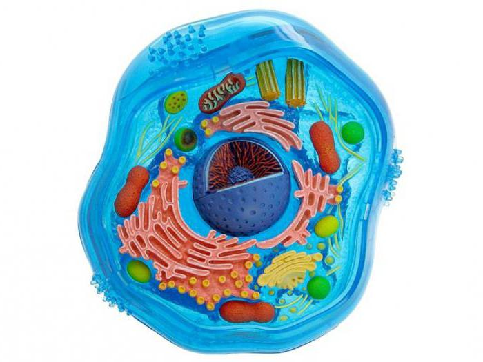 Чем отличается животная клетка от растительной
