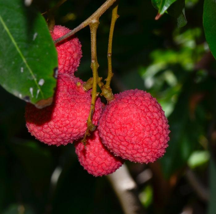 Личи фрукт - полезные свойства