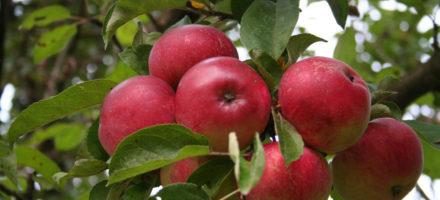 Как сажать яблоню осенью – пошаговая инструкция