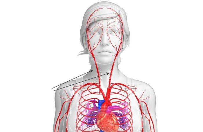 Где находится сонная артерия у человека