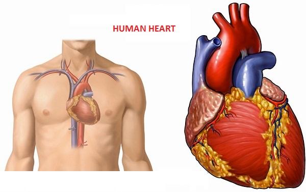 Где находится сердце