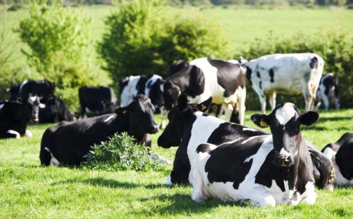 Коровы породы голштин