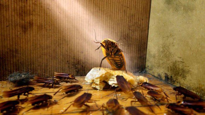 К чему снится таракан женщине
