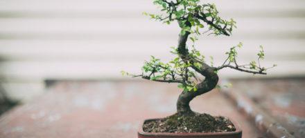 Как вырастить бонсай