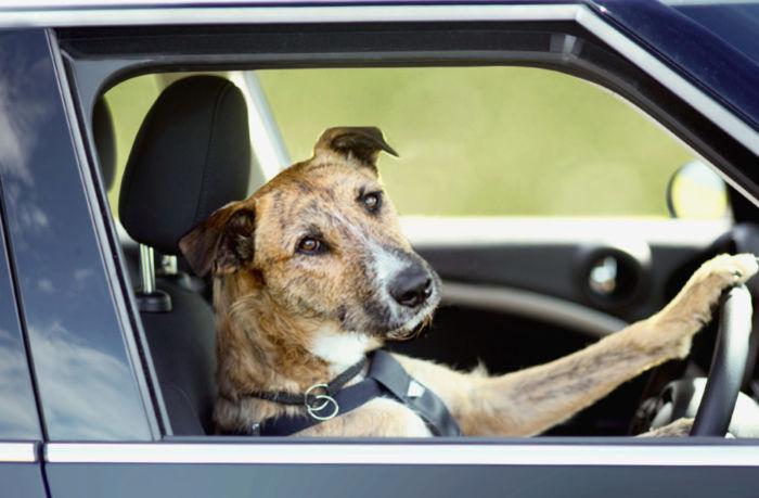 Как быть, если собаку тошнит в машине?