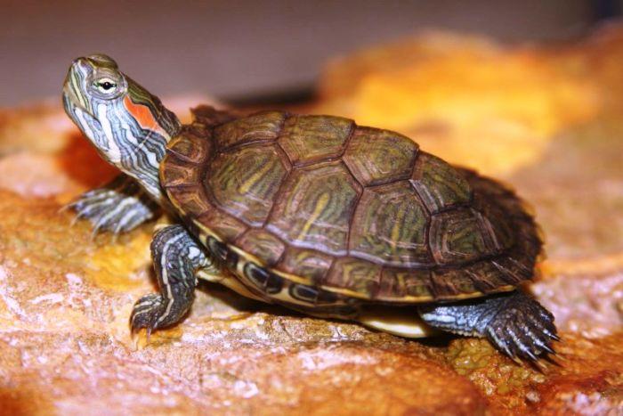 Чем кормить черепаху красноухую в домашних условиях