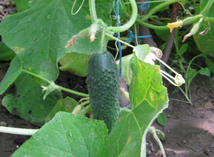 Как правильно растить огурцы в открытом грунте