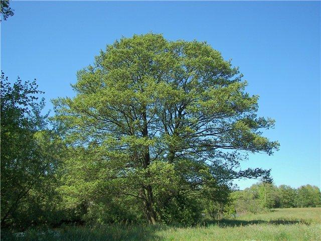 Как выглядит осина дерево, фото