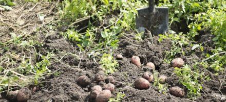 Копать во сне картошку