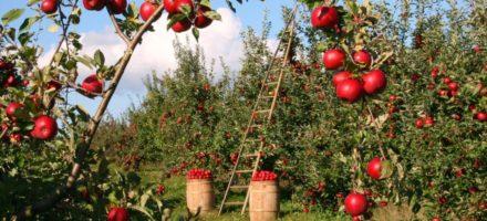 Как правильно обрезать яблоню