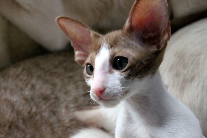 Ориентальная кошка. Особенности породы