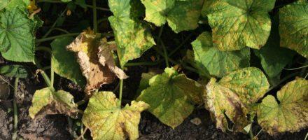 Что делать если желтеют листья у огурцов