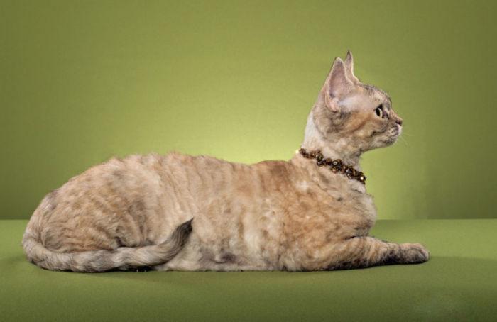 Кошки породы девон-рекс