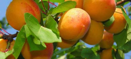 Как вырастить из косточки абрикос