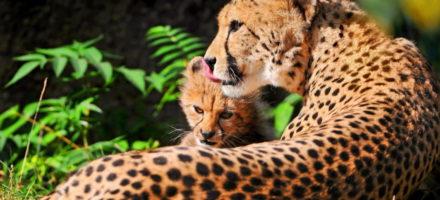 Как выглядит гепард