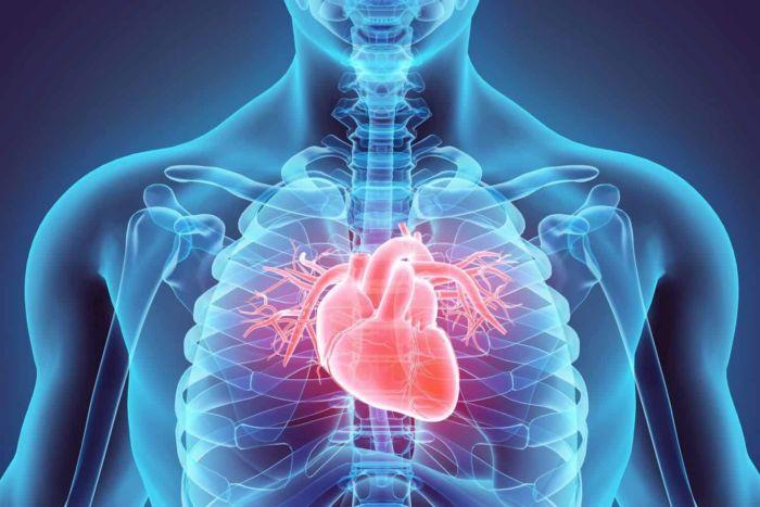 Расположение самого важного органа с какой стороны сердце у человека