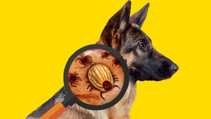 Что делать если собаку укусил клещ