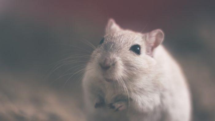 К чему снится мышь во сне женщине