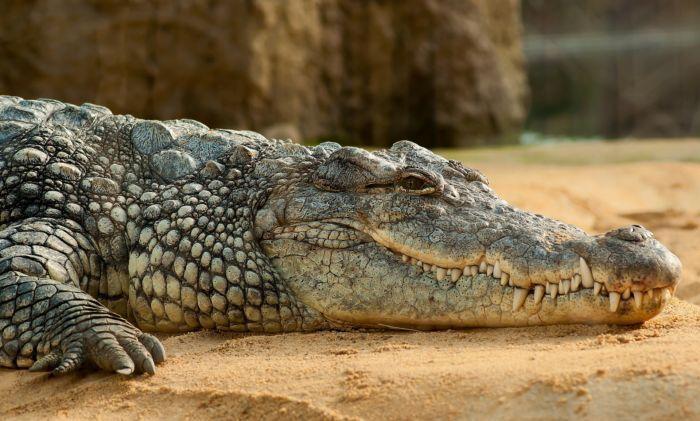 Крокодилы и аллигаторы. Отличия и особенности