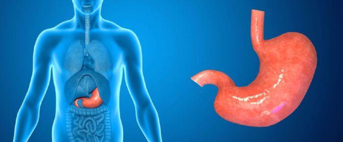 Что такое органы пищеварительной системы