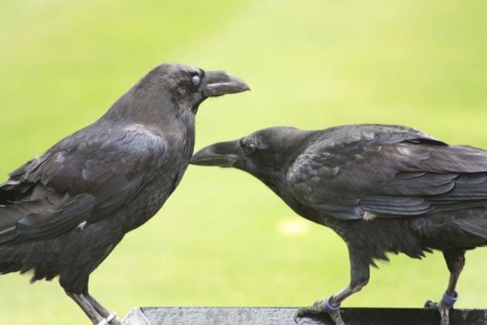 Чем отличается ворон от вороны