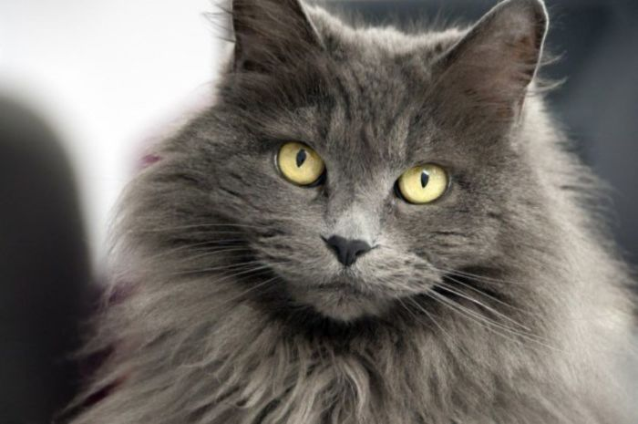 Кошки породы Нибелунг