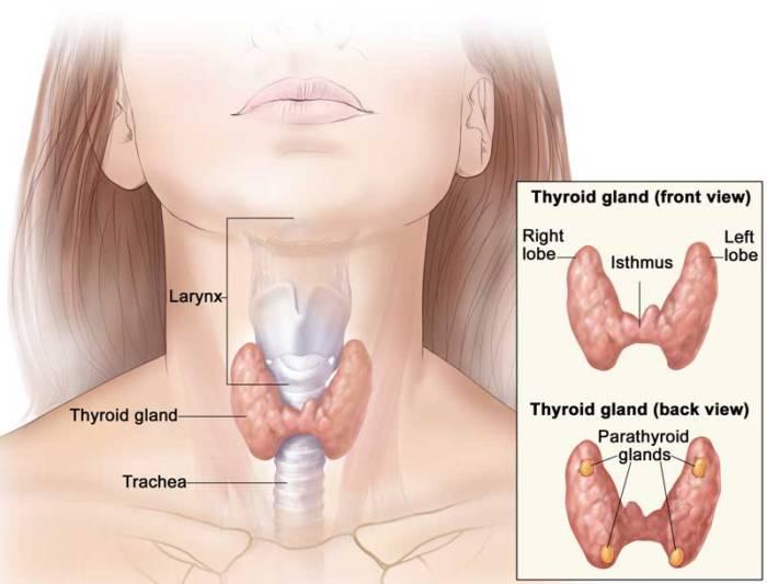 Где находится щитовидная железа у женщин фото