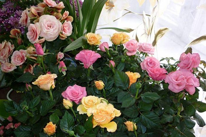 Где купить комнатные розы?